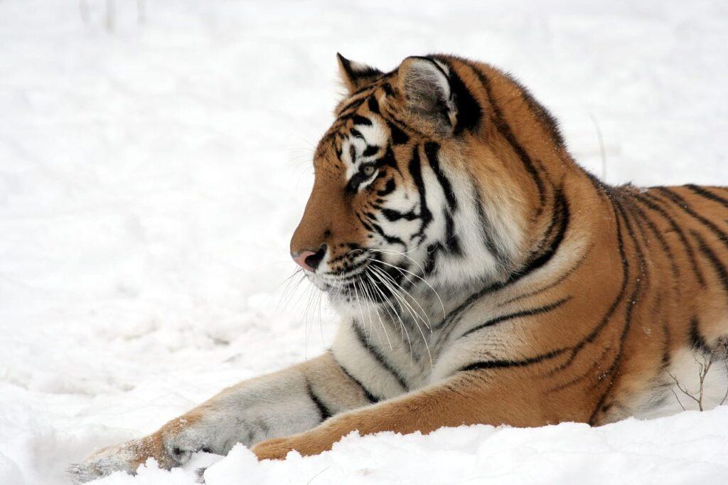tiger-585856_1280